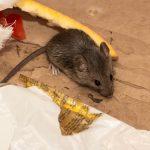 penjepit tikus